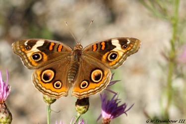 Buckeye beauty by natureguy