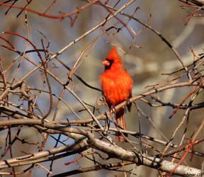 Sunny spot Cardinal by natureguy
