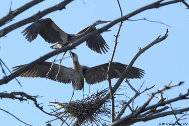 Return of the Blue Herons by natureguy