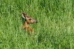 Buck in the Hay field 1 by natureguy