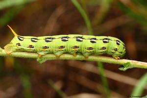 White Lined Sphinx Caterpillar 2