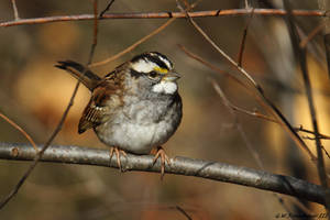 Portrait of a White throated Sparrow by natureguy