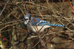 Cold Morning Blue Jay