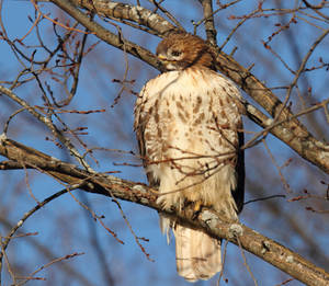 relaxed Hawk....