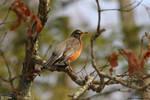 Mid morning Robin