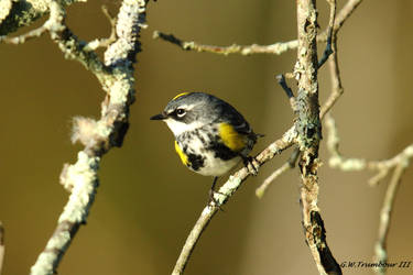 Early morn Warbler by natureguy