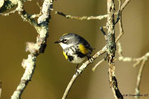 Early morn Warbler