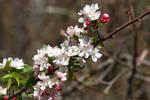 Marsh edge wild Apple blossoms