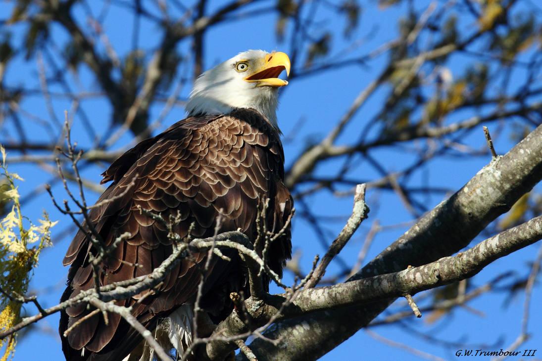 Call of the Eagle