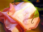 Rose XVIII