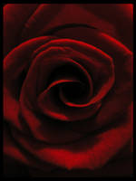 Red Rose V by Guardi