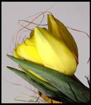 Yellow Tulipan V