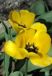 2012 Vibrant Yellow Tulips