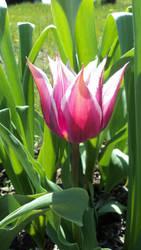 2012 Burgundy and White Tulipa