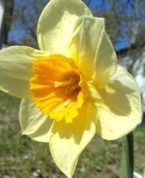 2012 Daffodil
