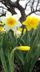 2012 Daffodils against Tree