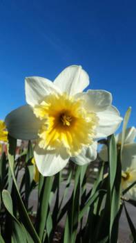 2012 Daffodil against Blue Sky