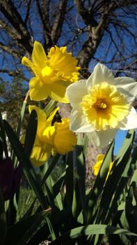 2012 Daffodils