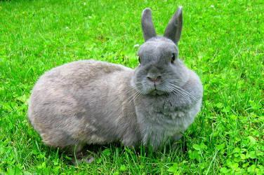 Dwarf rabbit - Mika by KujiraHanma