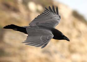 Raven in Flight by Folkeye