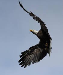 Bald Eagle by Folkeye