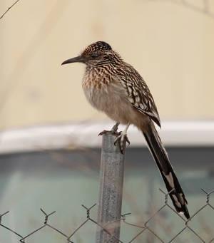 Just an overlarge sparrow on a fence