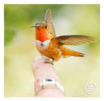 Hummingbird Training 101 by manwithashadow