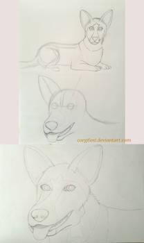 Corgi, Marley progress drawings