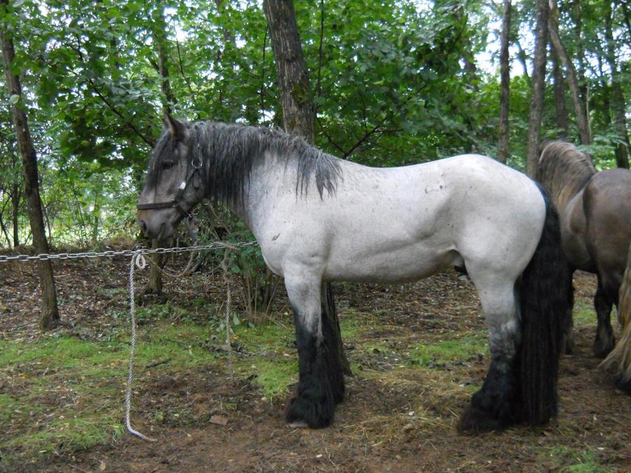 Ardenner Roan Stock 1 by RidingInLongSocks