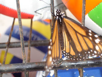 Rustic Butterflies