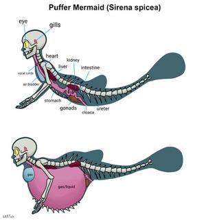 Puffer Mermaid's Anatomy
