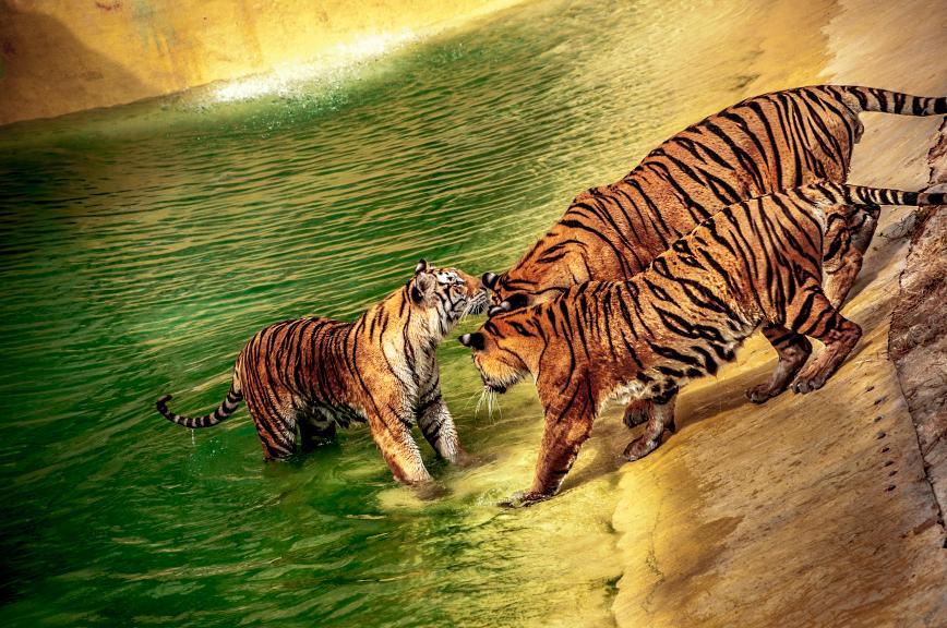 Tigers by DANIELMRK