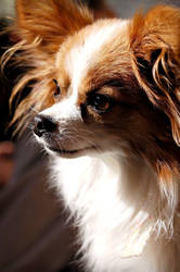 Papillon by AAKphotography