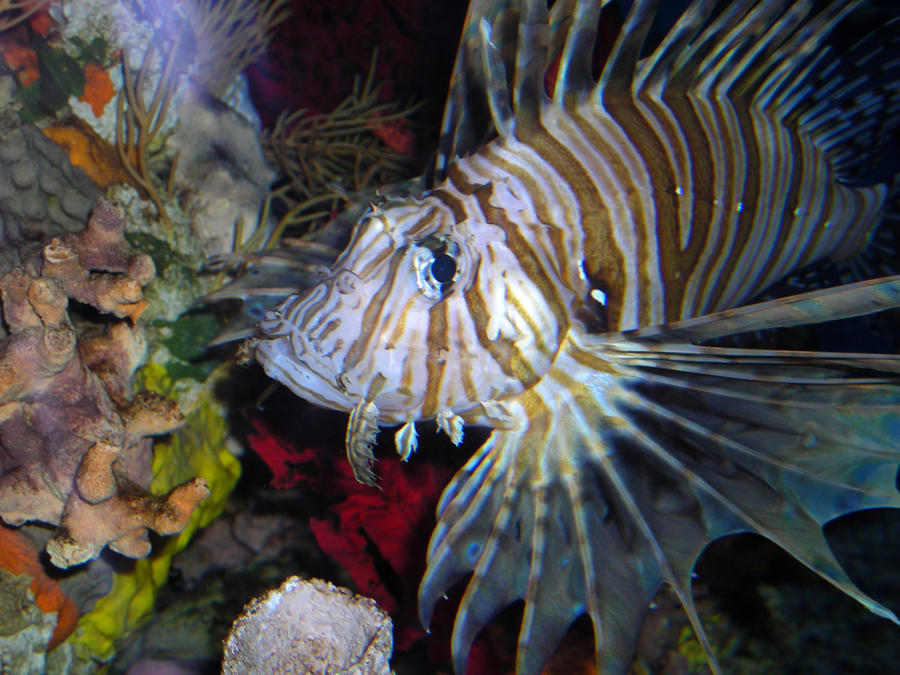 CB Lionfish I by LDFranklin