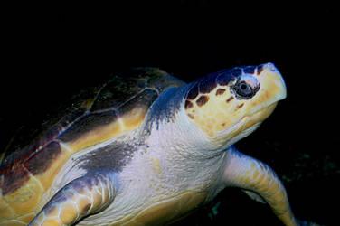 Sea Turtle 3 by LDFranklin