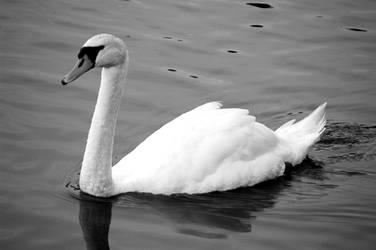 Swan Lake I by LDFranklin