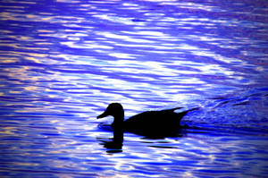 Duck In The Lake by LDFranklin