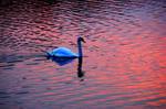 Swan In A Pink Lake