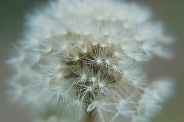 Texture: Dandelion I by LDFranklin