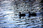 Lovely Ducks by LDFranklin
