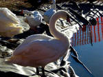 Fair Swan I by LDFranklin