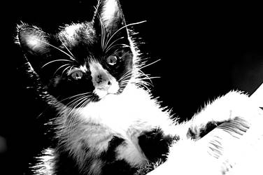 BW California Cats 12 by LDFranklin