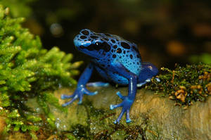 Blue Poison Dart Frog V by LDFranklin