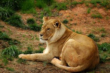 Lioness II by LDFranklin