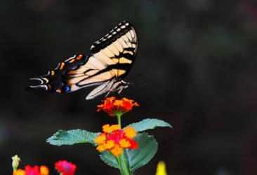 Swallowtail III by LDFranklin