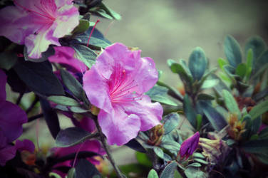 Faded Pink by LDFranklin