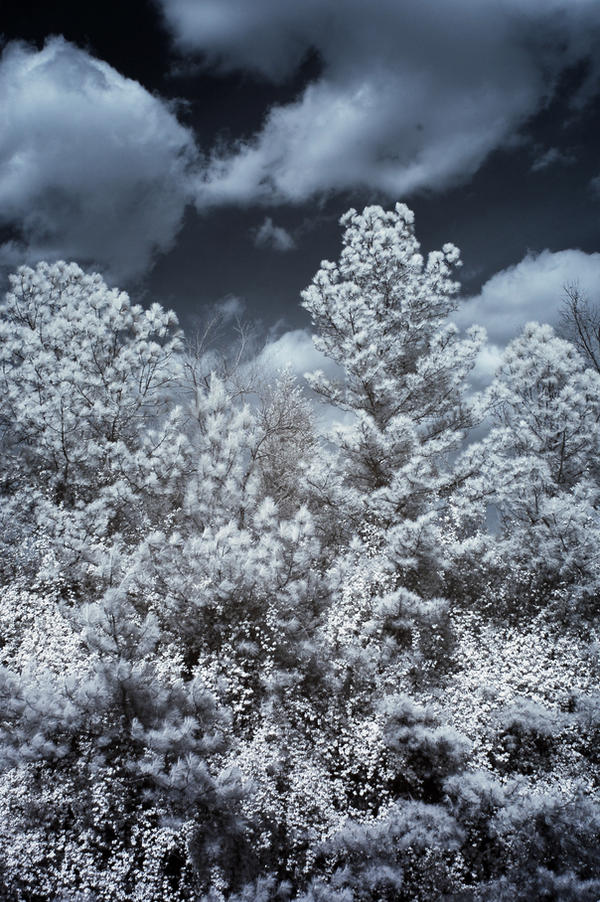 White Tree Tops by LDFranklin