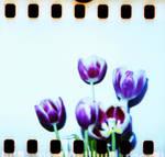 Diana 2 32 Tulips