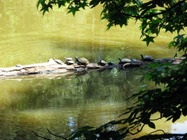Turtles In The Lake by LDFranklin