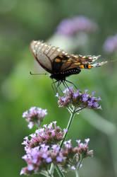 LC Butterflies II by LDFranklin